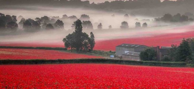 misty poppy fields