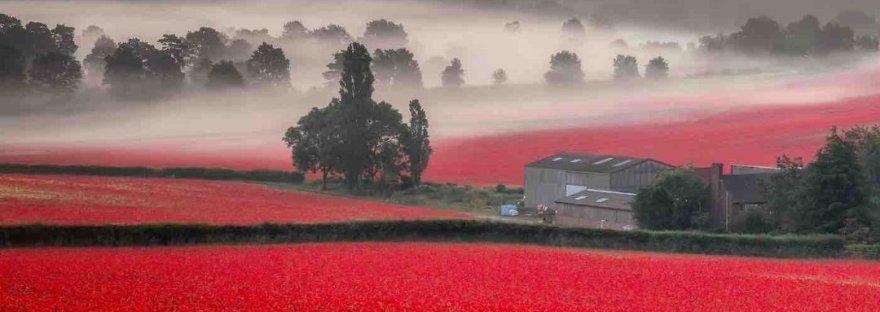 misty poppy fields