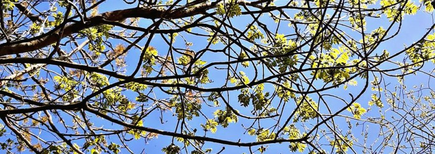 bright green tree buds in a blue sky