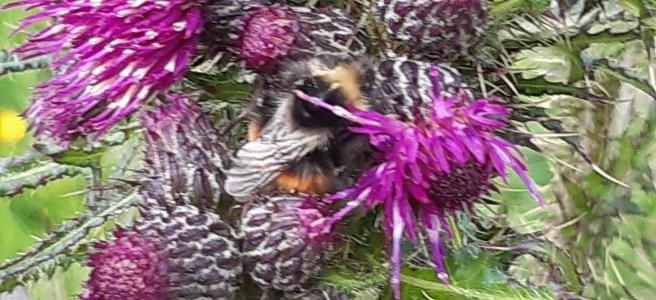 purple thistles