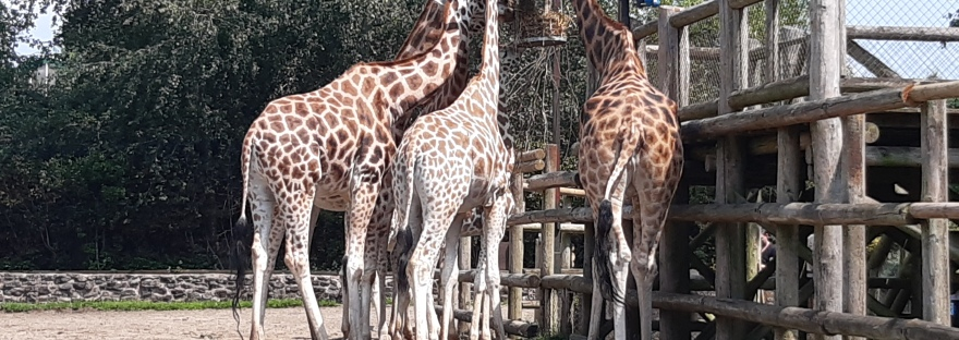 giraffes munching on their lunch