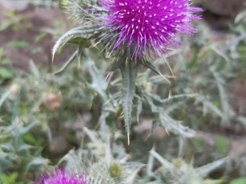 Bright purple thistles