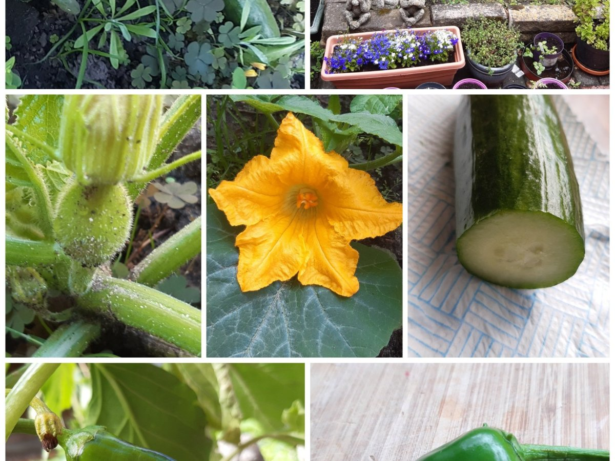cucumbers, veg patch, courgette flower, chillies