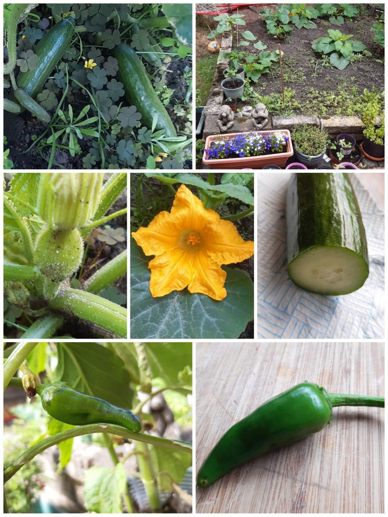 various photos of vegetables growing in the garden, harvested chilli and cucumber cut and ready to eat