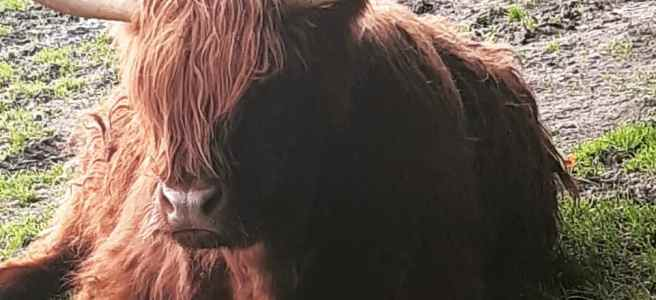 Heiland coo and its calf