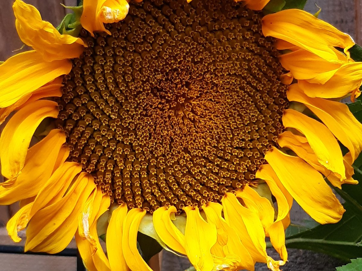 Vibrant but imperfect sunflower