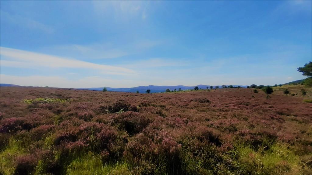 purple heather and a blue sky