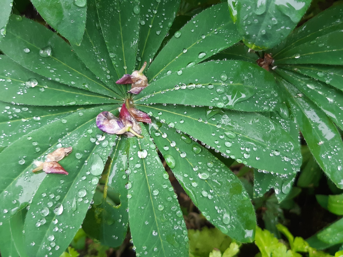 Imperfect lupin with raindrops